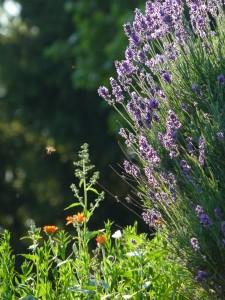Lavendel - Gastgarten