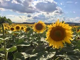 Sonnenblumen2019 (1)